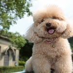 پودل: هرآنچه باید در مورد نژاد سگ پودل استاندارد بدانید