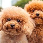 پودل عروسکی: هرآنچه باید در مورد نژاد سگ پودل عروسکی بدانید