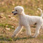 پودل مینیاتوری: هرآنچه باید در مورد نژاد سگ پودل مینیاتوری بدانید