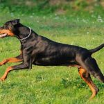 دوبرمن: هرآنچه باید در مورد نژاد سگ دوبرمن اصیل بدانید