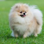 پامرانین: هرآنچه باید در مورد نژاد سگ پامرانین بدانید