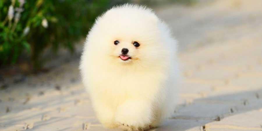 Pomeranian-3