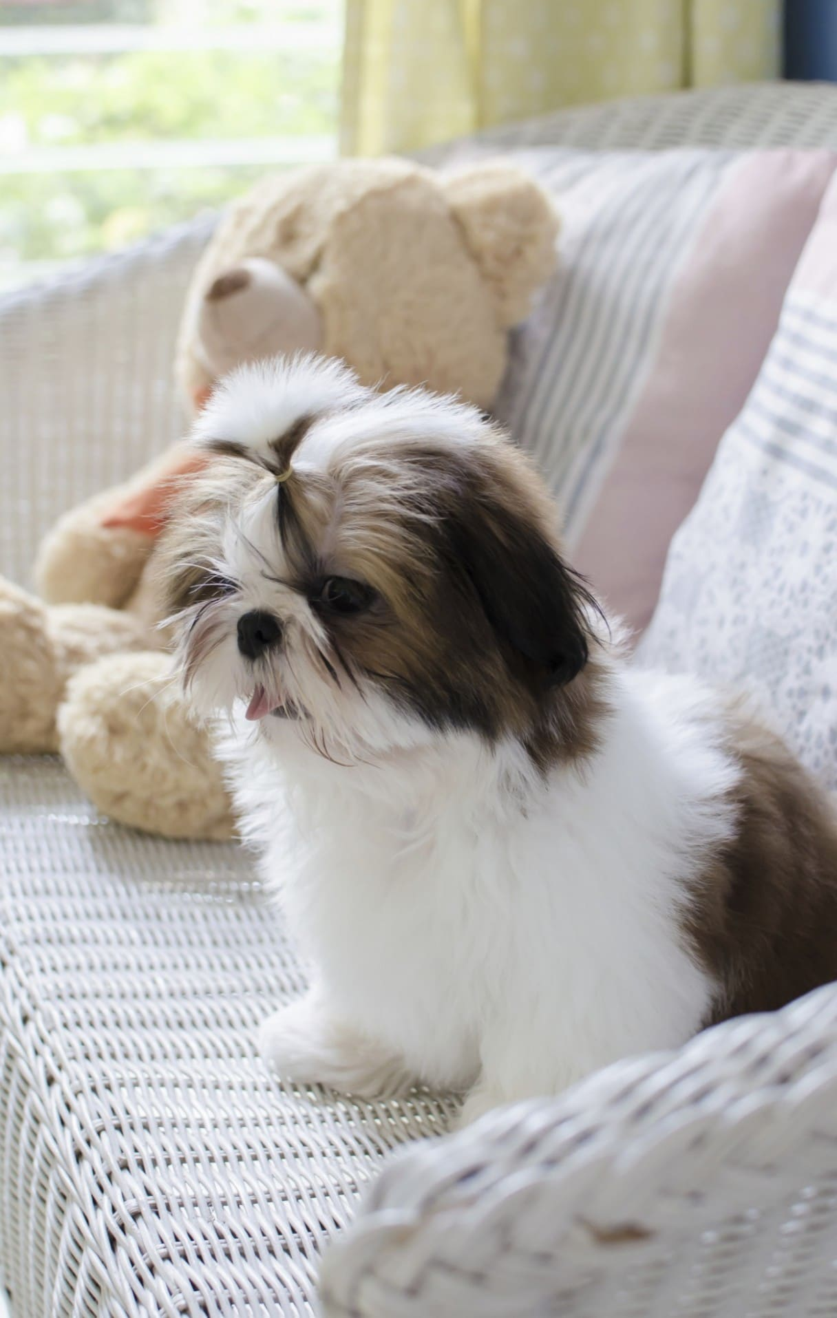 Shih_Tzu_pup_on_sofa